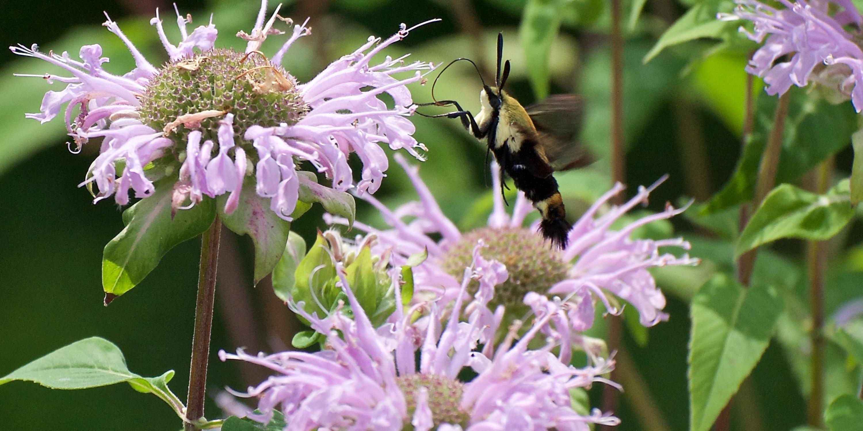 Snowberry clearwing at bee balm.