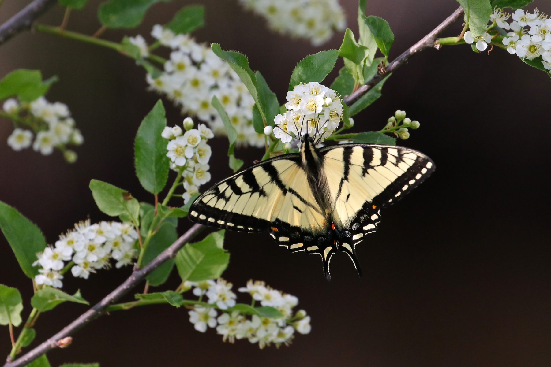 Tiger Swallowtail butterfly nectaring at chokecherry.
