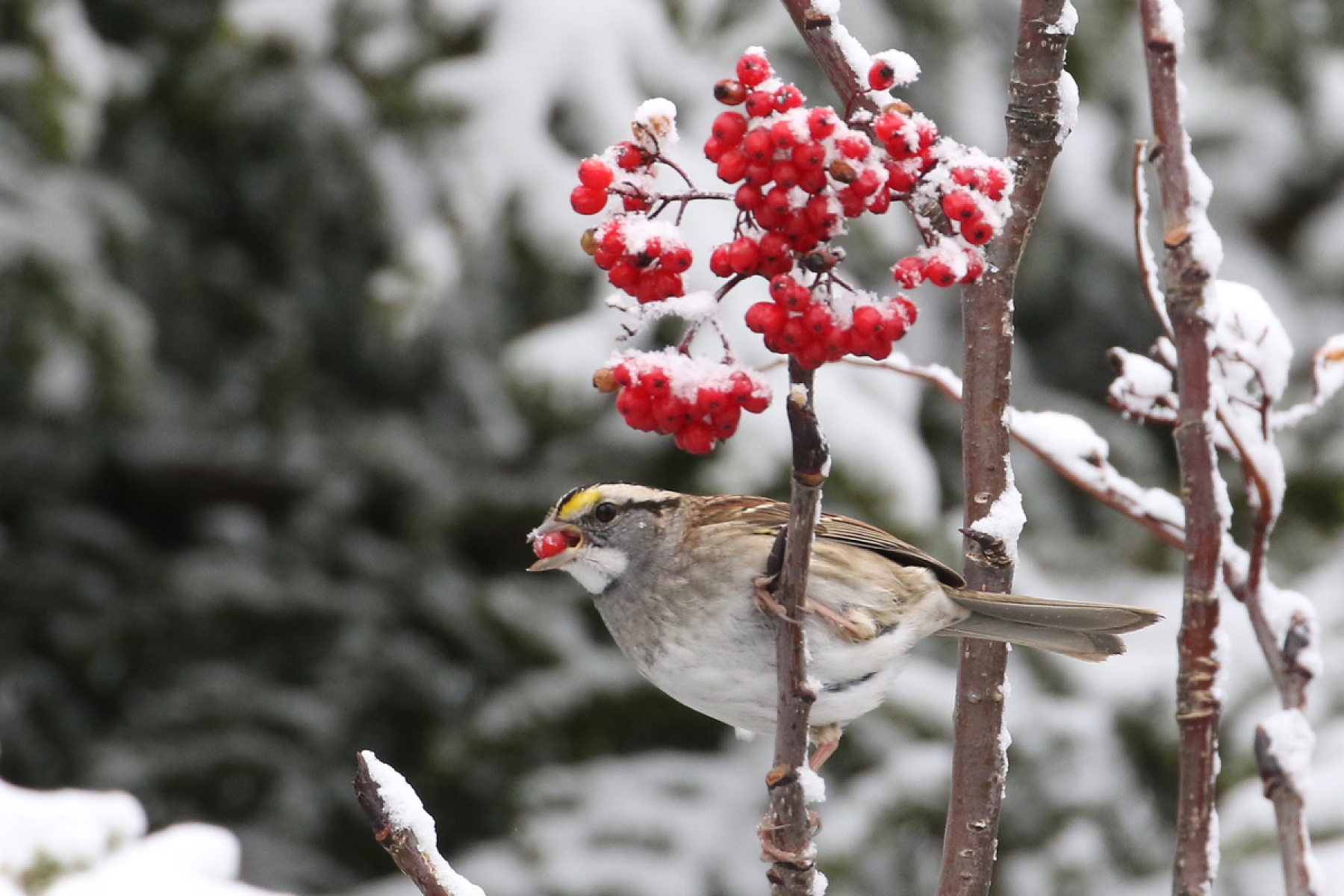 White-throated sparrow eating mountain ash berries.
