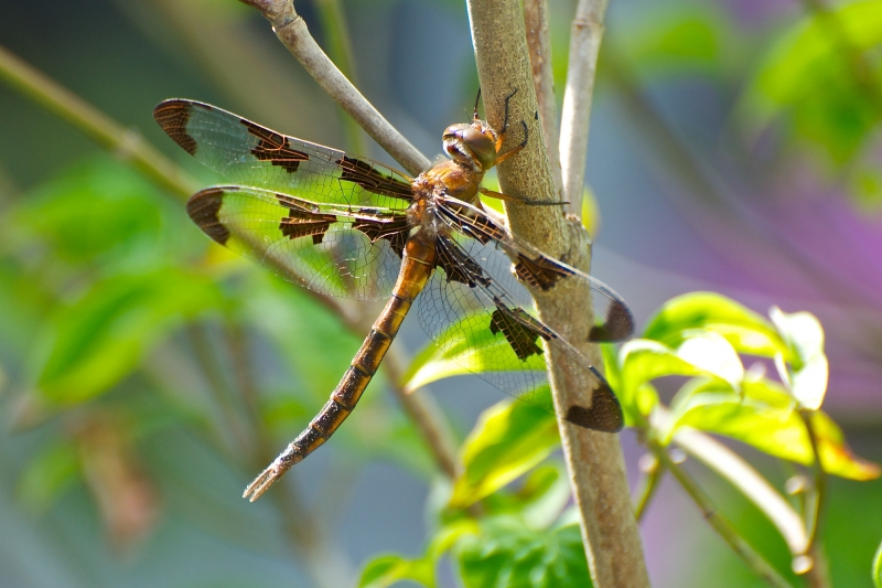 dragonfly on dogwood